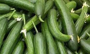 برداشت 110 هزار تن خیار سبز از گلخانه های میناب پیش بینی می شود