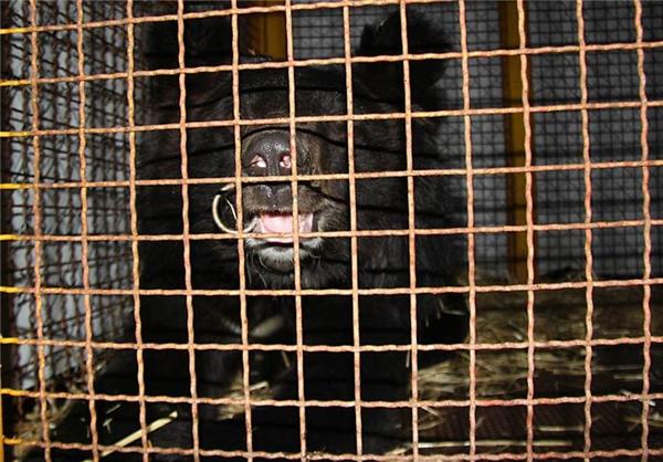 خرس سیاه یقهسفید همچنان درصدد فرصتی برای رهایی
